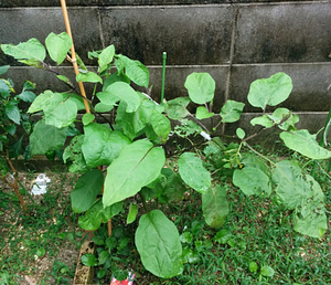 20161001_03_eggplant