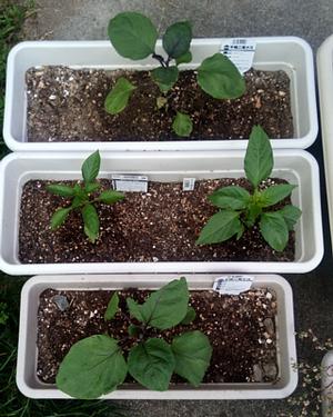 20170506_03_eggplant