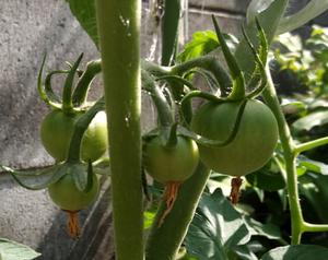 20170610_03_tomato