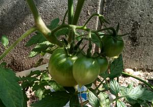 20170610_04_tomato