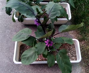20170610_05_eggplant