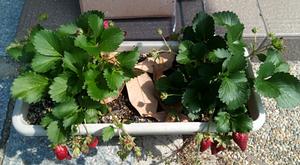20170610_08_strawberry