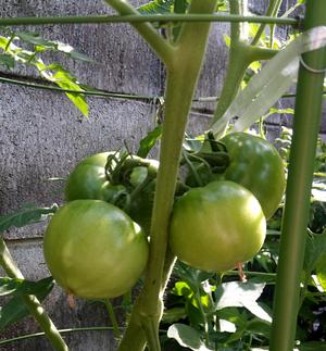 20170624_01_tomato