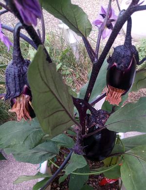 20170624_02_eggplant