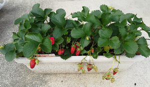 20180519_strawberry