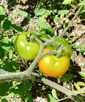 20180616_tomato1