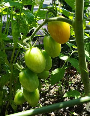 20180616_tomato2